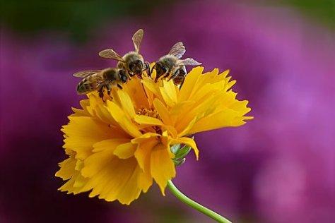 abeja mielera